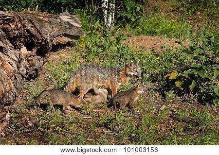 Grey Fox Vixen And Kits (urocyon Cinereoargenteus) One Feeding