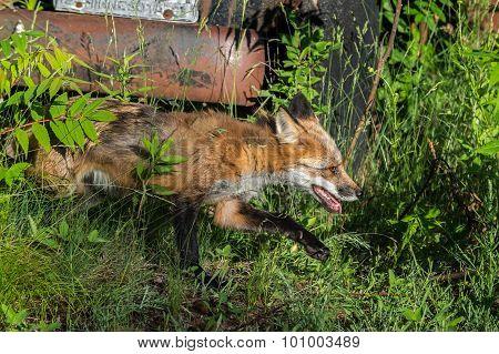 Red Fox Vixen (vulpes Vulpes) Runs By Bumper Of Old Vehicle
