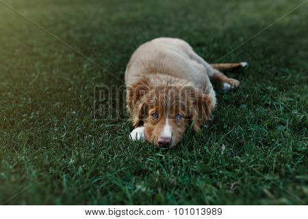 Dog Nova Scotia Duck Tolling Retriever
