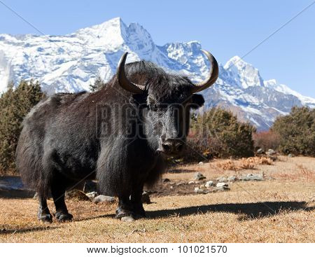 Black yak on the way to Everest base camp and mount Kongde - Nepal poster