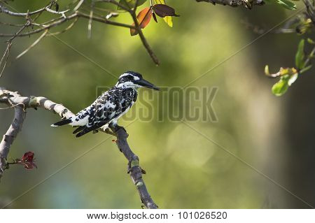 Pied Kingfisher In Arugam Bay Lagoon, Sri Lanka