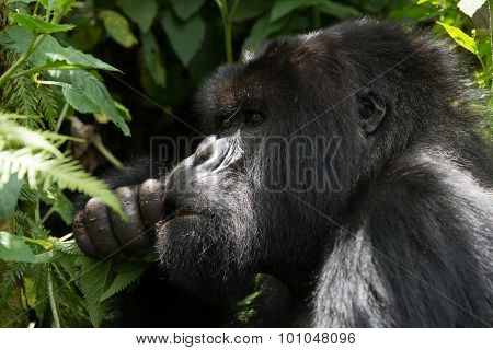 Male Gorilla In Dappled Sunshine Chews Leaves