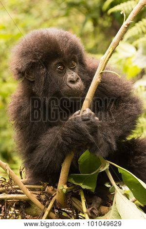 Baby Gorilla Looks Up While Holding Branch