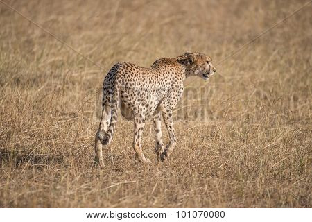 Pregnant Cheetah Walking Away With Head Turned