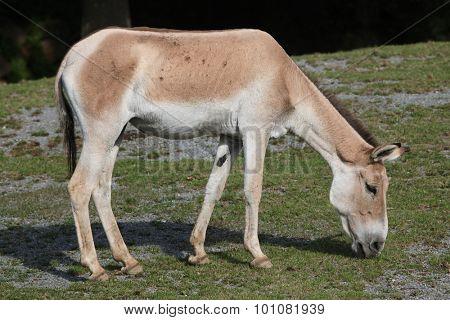 Turkmenian kulan (Equus hemionus kulan), also known as the Transcaspian wild ass. Wild life animal.