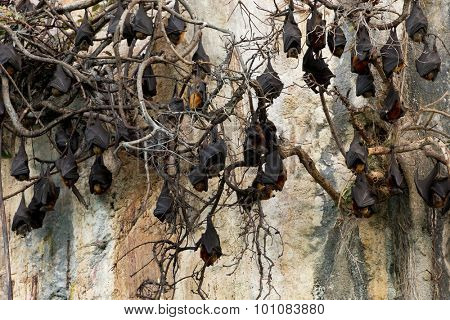 Flying foxes colony hanging on dead branches on a cliff in Ko Lanta island, Thailand