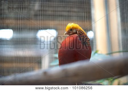 Golden Pheasant (Chrysolophus pictus) sitting on the branch