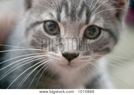close up on face especially eyes of kitten poster