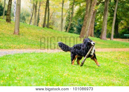 Bernese mountain dog fetching stick on meadow with fall foliage