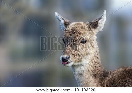 Roe Deer Capreolus capreolus head-shot close-up with its tongue out