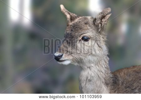Roe Deer Capreolus capreolus head-shot close-up