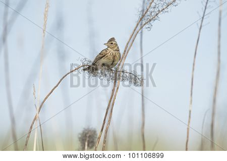 Skylark Alauda arvensis perched on a reed