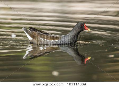 Moorhen, Gallinula chloropus, on a pond, close up
