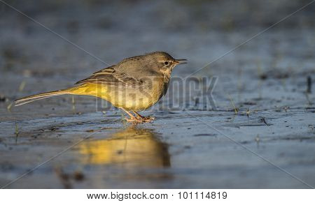 Grey Wagtail Motacilla cinerea standing on ice looking for food chirping