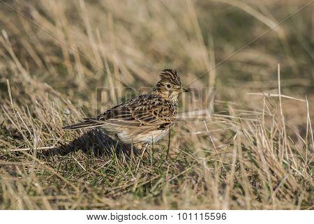 Skylark Alauda arvensis standing on the grass