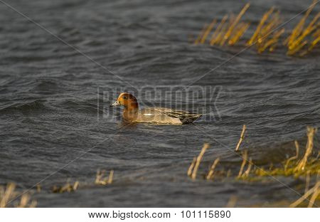 Wigeon Anas penelope swimming in the sea