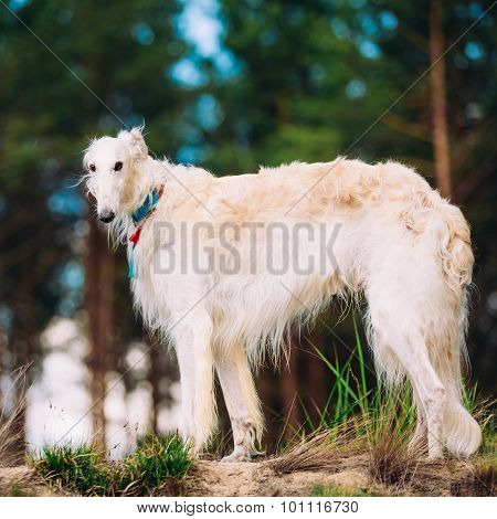 White Russian Dog, Borzoi, Hunting dog in Spring Summer Forest.