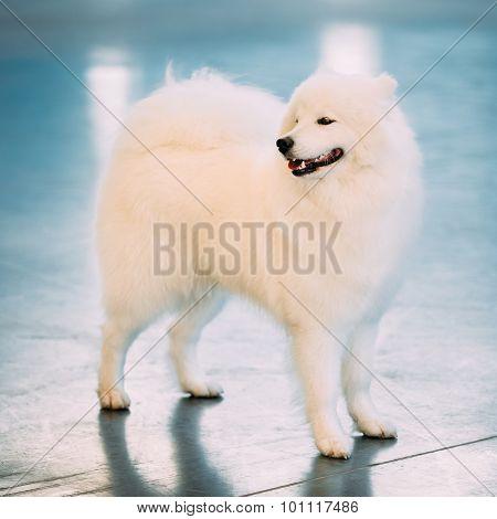 Happy White Samoyed Dog Puppy Whelp Standing on Floor