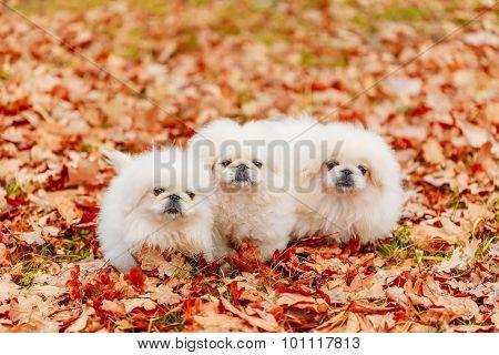 White Pekingese Pekinese Puppies Dog Sitting On Yellow, Orange F