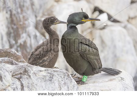 European Shag Phalacrocorax aristotelis European Shag Phalacrocorax aristotelis adult and chick on t