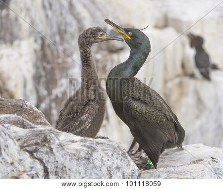 European Shag Phalacrocorax aristotelis adult and chick on the cliff edge