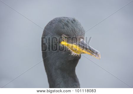 European Shag Phalacrocorax aristotelis close up head shot