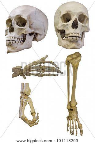 set of human skeleton parts isolated on white background
