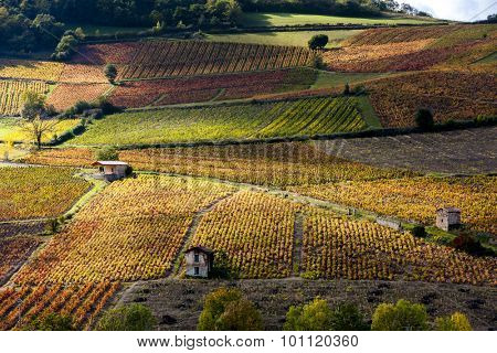 vineyards near Beaujeu, Beaujolais, Rhone-Alpes, France