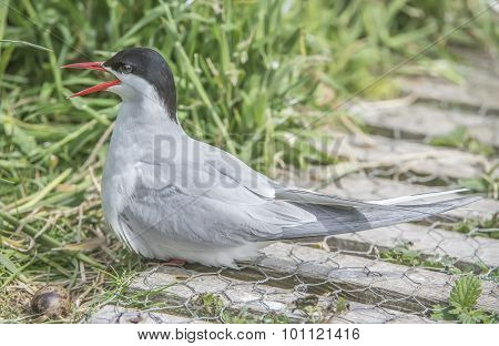 Arctic tern Sterna paradisaea sitting by its egg squawking