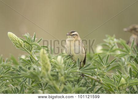 Sedge warbler, Acrocephalus schoenobaenus, perched in a tree