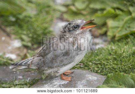 Arctic tern Sterna paradisaea juvenile standing on the grass squawking