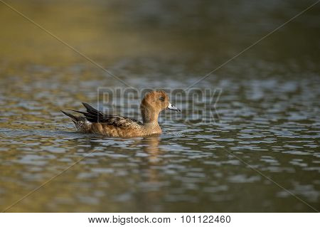 Wigeon Anas penelope swimming on a pond