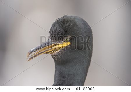 European Shag Phalacrocorax aristotelis close up head shot