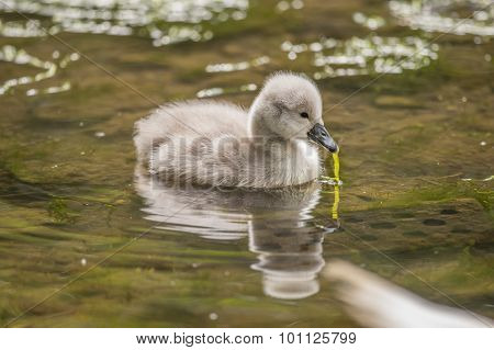 Cygnet in the river with pond weed in its beak