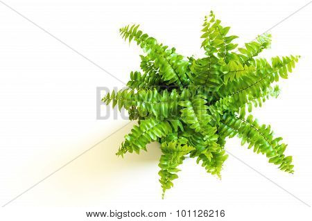 Young Green Fern With Curly Leaves