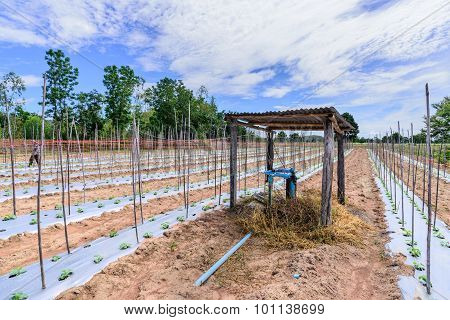 Water irrigation system on middle of melon field.