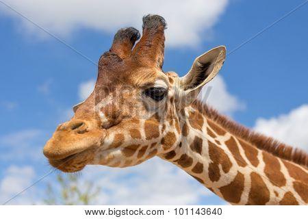 Close up shot of giraffe head