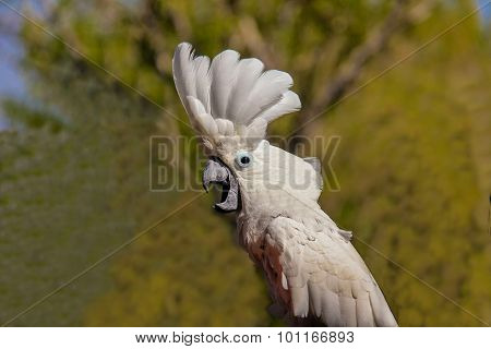 White Cockatoo Parrot ( Cacatua Alba Or Umbrella Cockatoo)