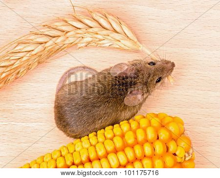 Top View Of House Mouse (mus Musculus) Carrying Wheat Ear