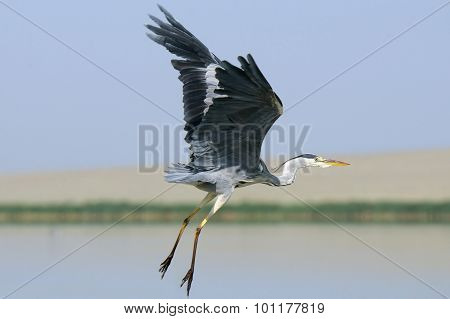 Flying Grey Heron With Erect Wings And Down Legs