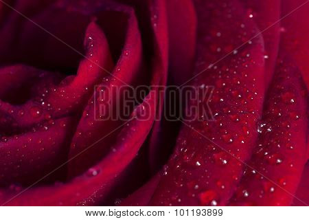 Beautiful close-up rose with water drops.