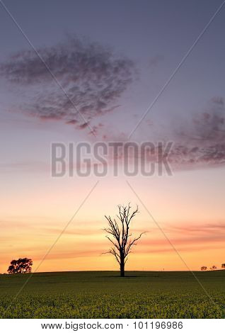 Dawn Skies Over Canola Field
