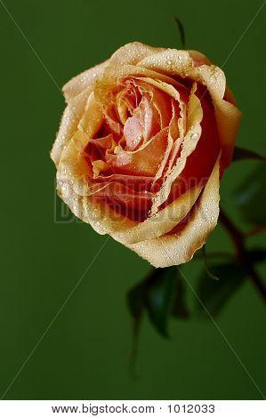 Alone Rose