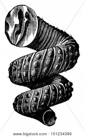 Cephalopod ammonites of the Cretaceous period, vintage engraved illustration. Earth before man 1886.