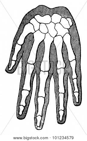 Organic unity and kinship of beings, Human Hand (the outer contour represents the flesh), vintage engraved illustration. Earth before man - 1886.