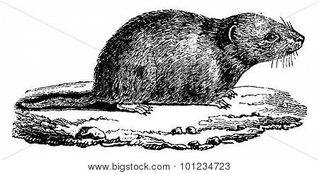 Common vole, vintage engraved illustration. Natural History of Animals, 1880.