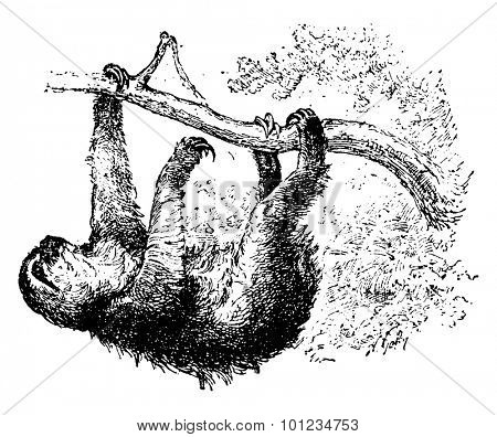 Sloth, vintage engraved illustration. Natural History of Animals, 1880.