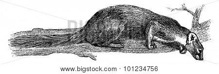 Marten France, vintage engraved illustration. Natural History of Animals, 1880.