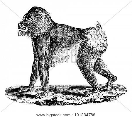 Mandrill baboon, vintage engraved illustration. Natural History of Animals, 1880.