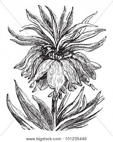 Fritillaria, vintage engraved illustration.